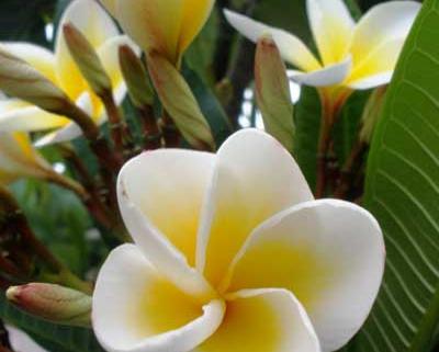 Frangipani Pulmeria alba